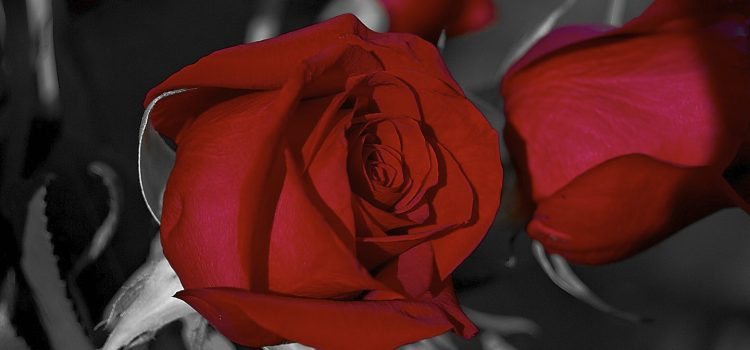 Red Roses Photos