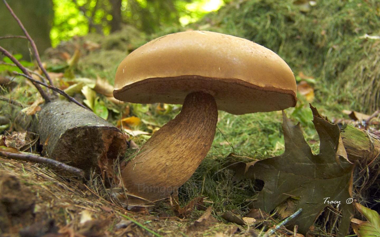 large-mushroom