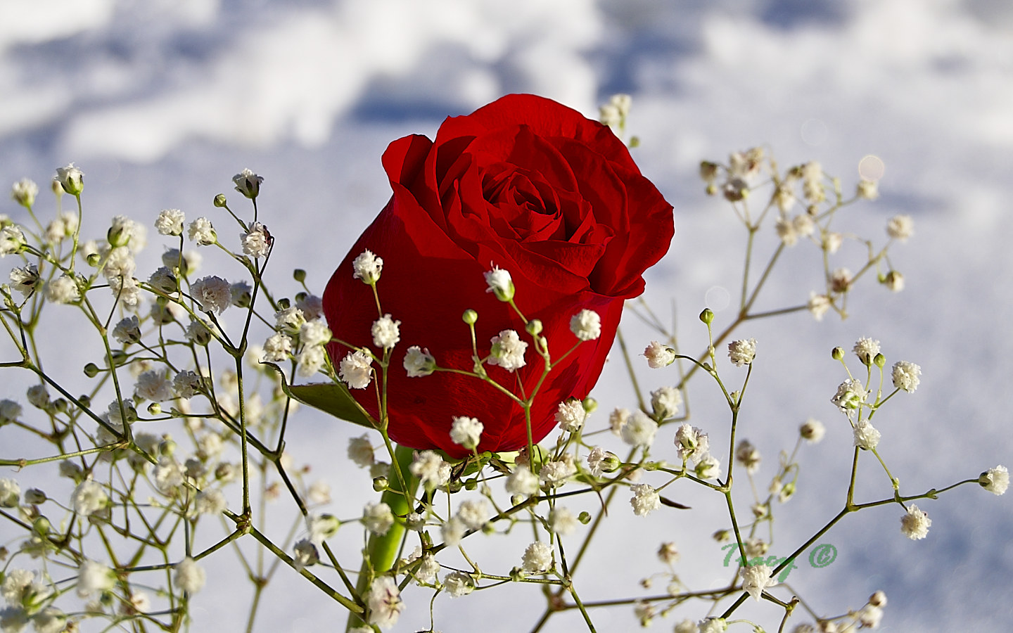 red roses flower photos, Natural flower